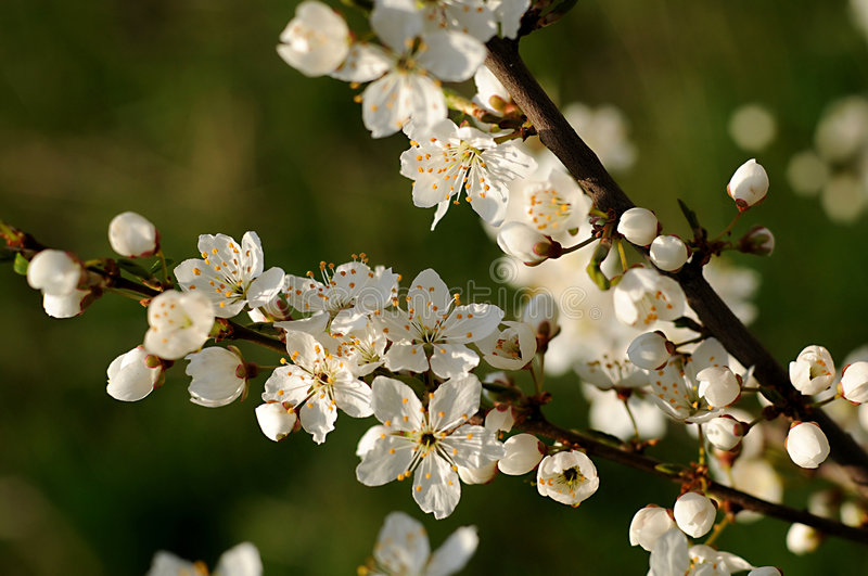 Download Apple tree flower stock photo. Image of delicious, flowering - 5103924