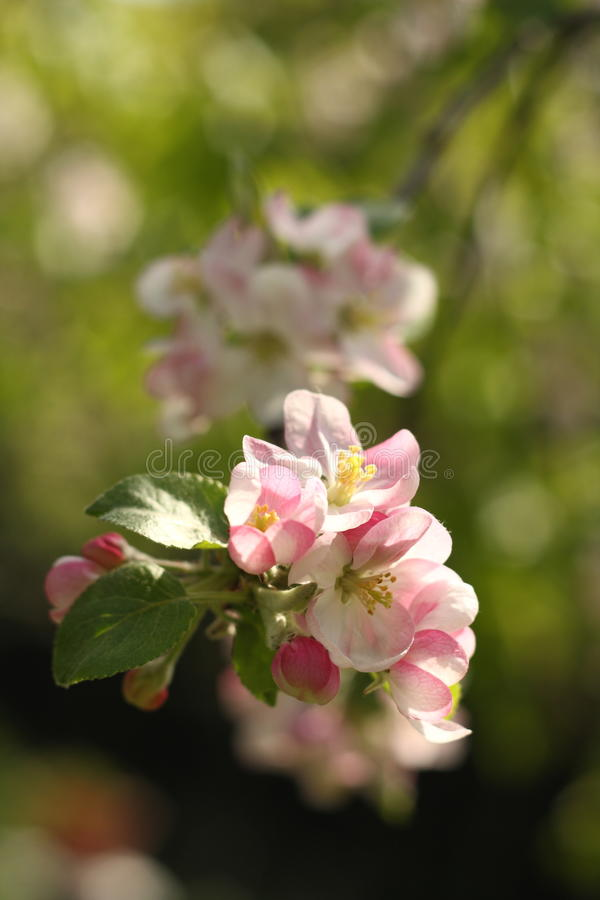 Free Apple Tree Flowers Royalty Free Stock Photo - 19528665