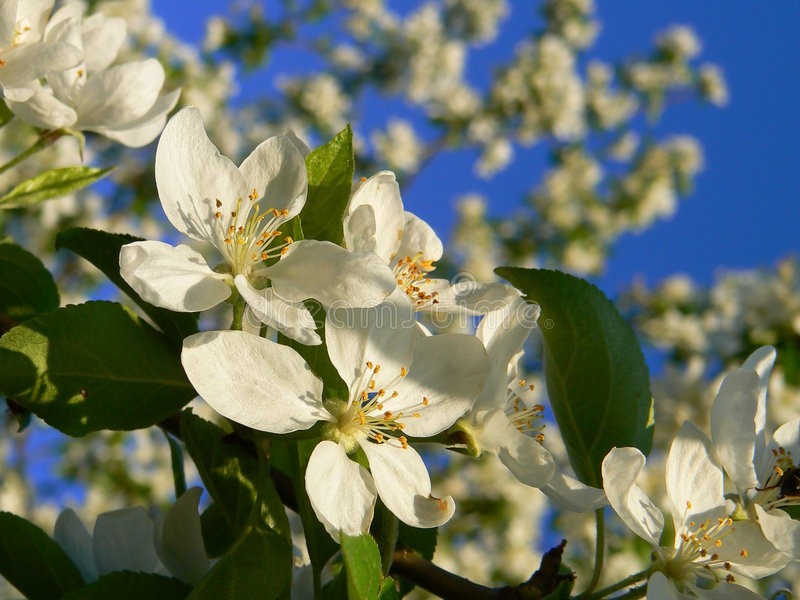 Download An apple-tree flowers. stock image. Image of flower, pink - 2476761