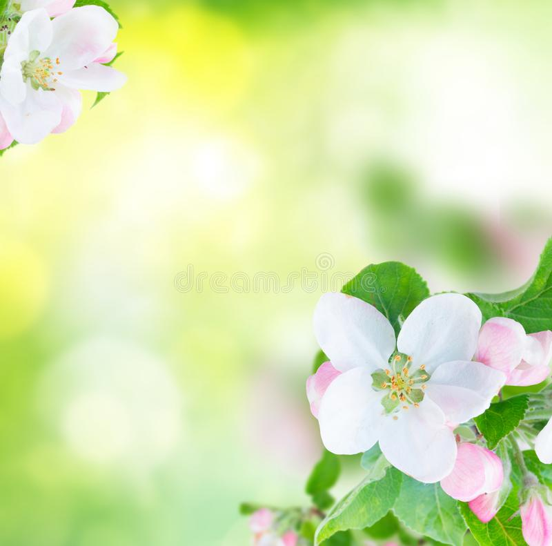 Apple tree blossom. Apple tree flowers blossom with green leaves over green garden bokeh background royalty free stock images
