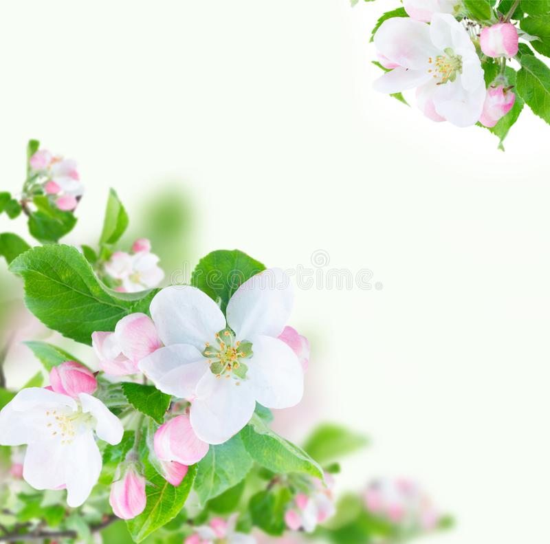 Apple tree blossom. Apple tree flowers blossom with green leaves over white background frame stock image