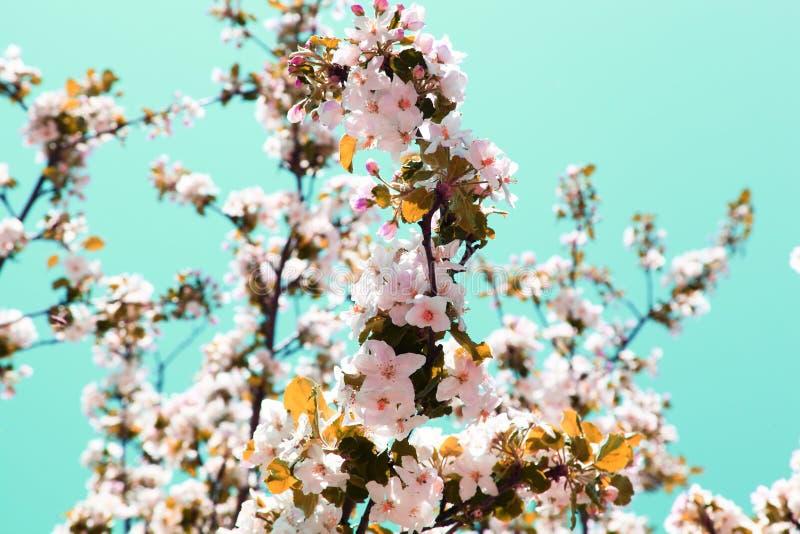 Apple tree flowers in the garden stock photo