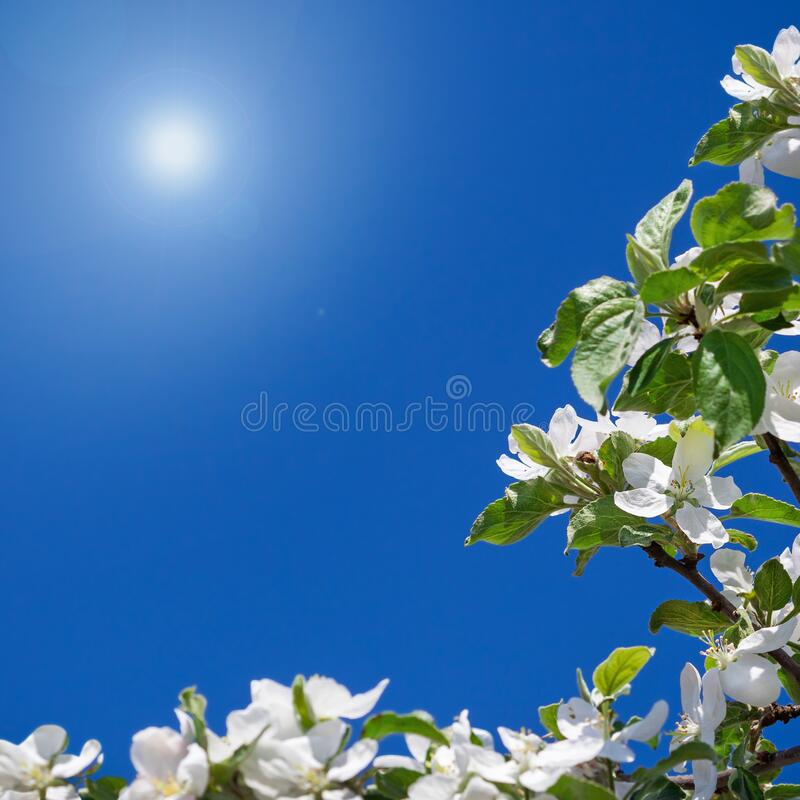Apple tree flowers on spring day stock photography