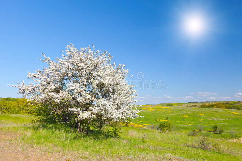 Apple tree with flowers under blue sky