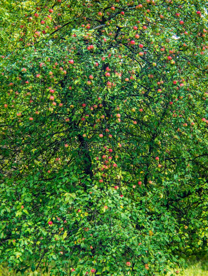 Apple tree with fruits, autumn time stock photos