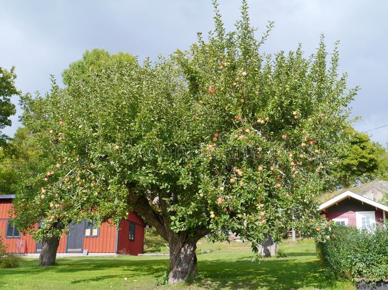 An apple tree. With fruits in an orchard royalty free stock image