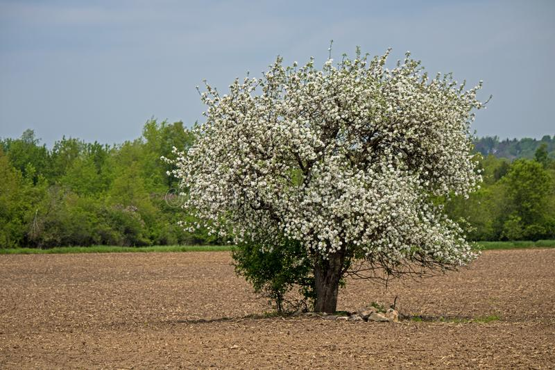 Apple Tree In Full Blossom Standing Alone In A Farm Field. A lone apple tree stands in the middle of a farm field. The tree is in full blossom while the field royalty free stock photography