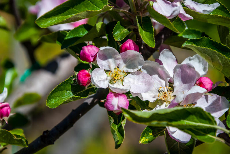 Apple tree. A full-blown apple tree in April royalty free stock image