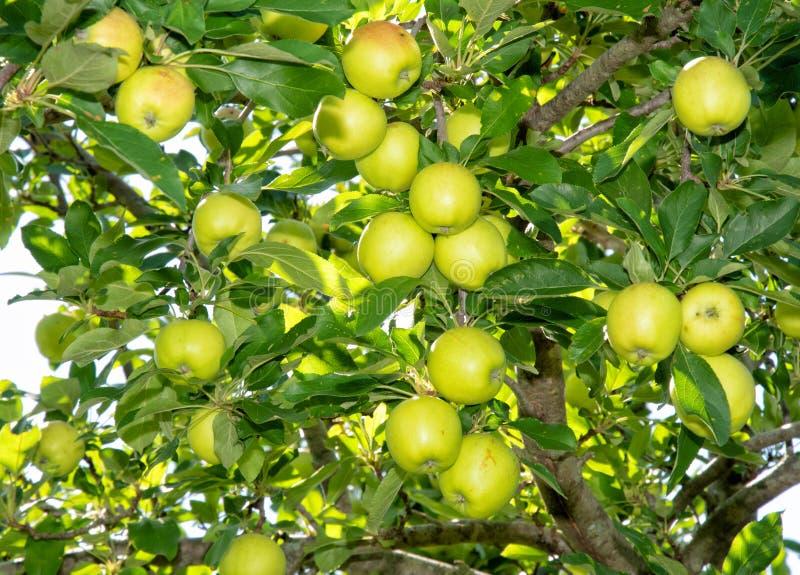 Apple tree full of ripening organic apples royalty free stock photo