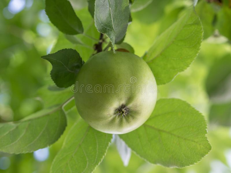 Apple on an apple tree. Green organic apple growing on an apple tree royalty free stock images
