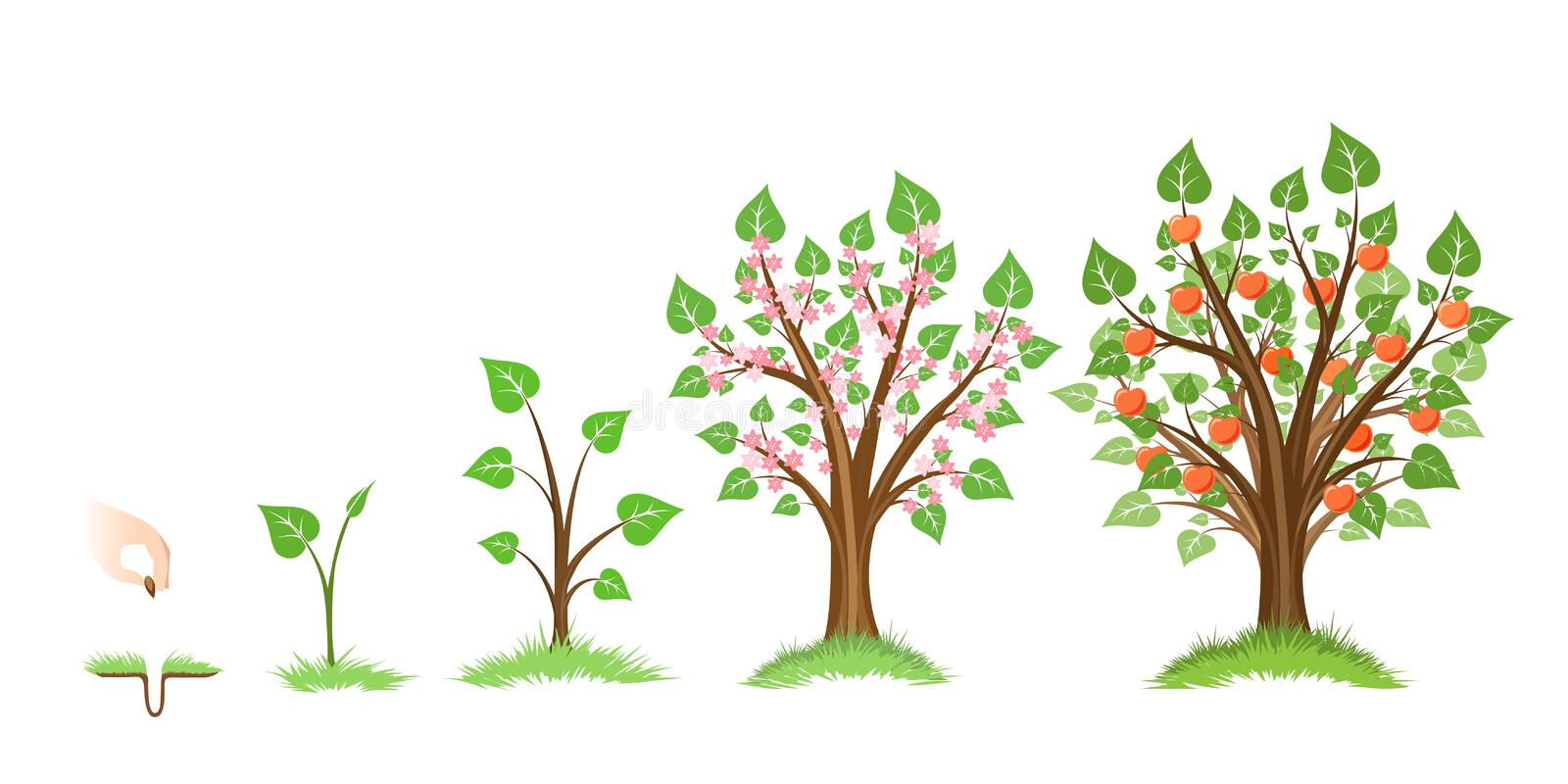 Apple tree growth. Cycle. Tree plant apple, cycle botanical, gardening growth fruit, natural apple, crop food, vector illustration royalty free illustration