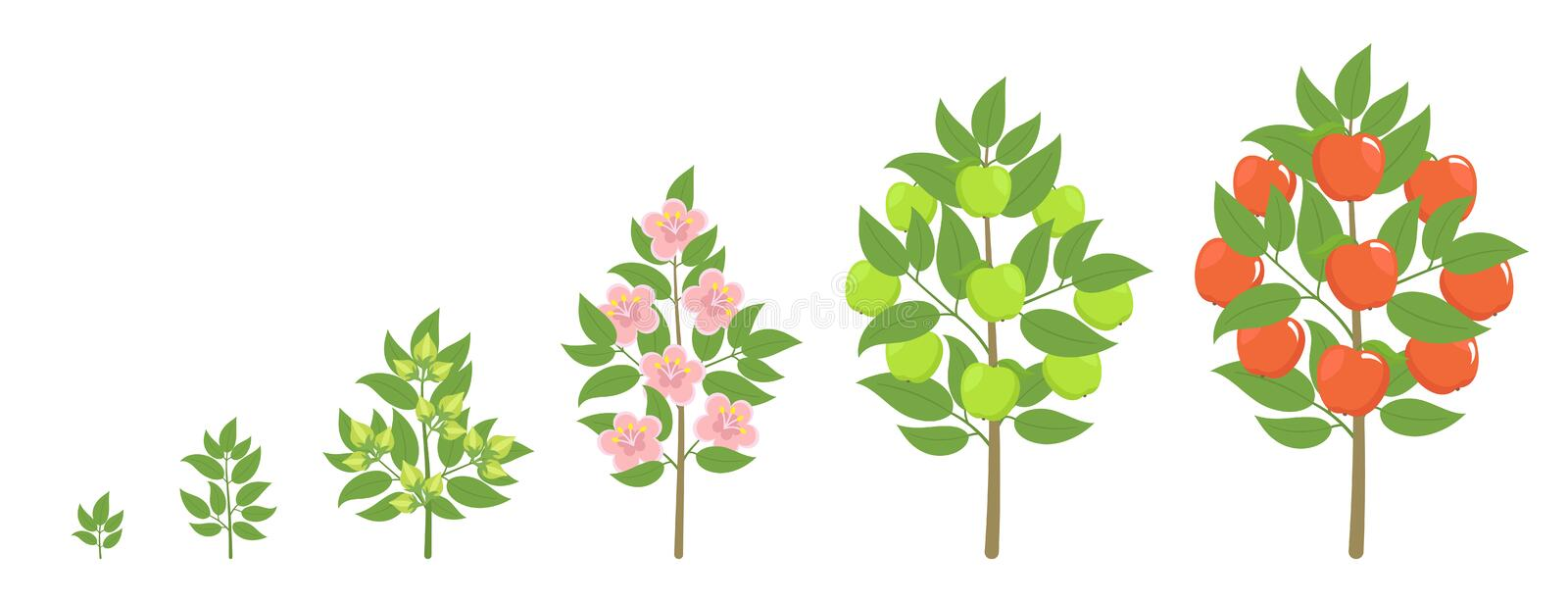 Apple tree growth stages. Ripening period progression. Fruit tree life cycle animation plant seedling. Apple increase phases. Apple tree growth stages. Vector royalty free illustration