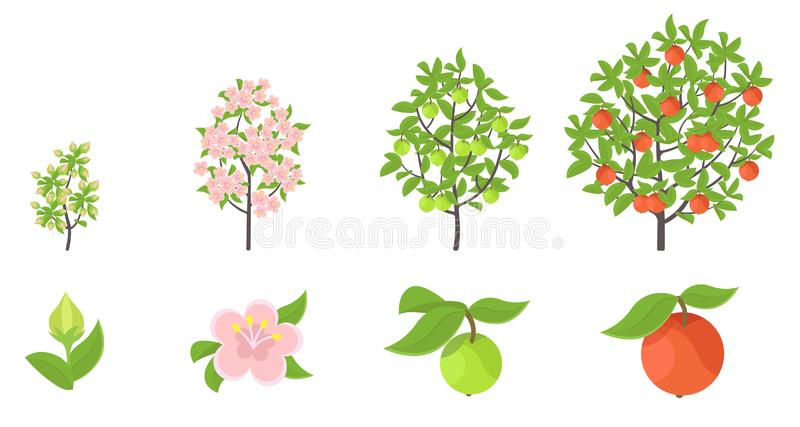 Apple tree growth stages. Vector illustration. Ripening period progression. Fruit tree life cycle animation plant seedling. Apple. Increase phases. Flat vector stock illustration