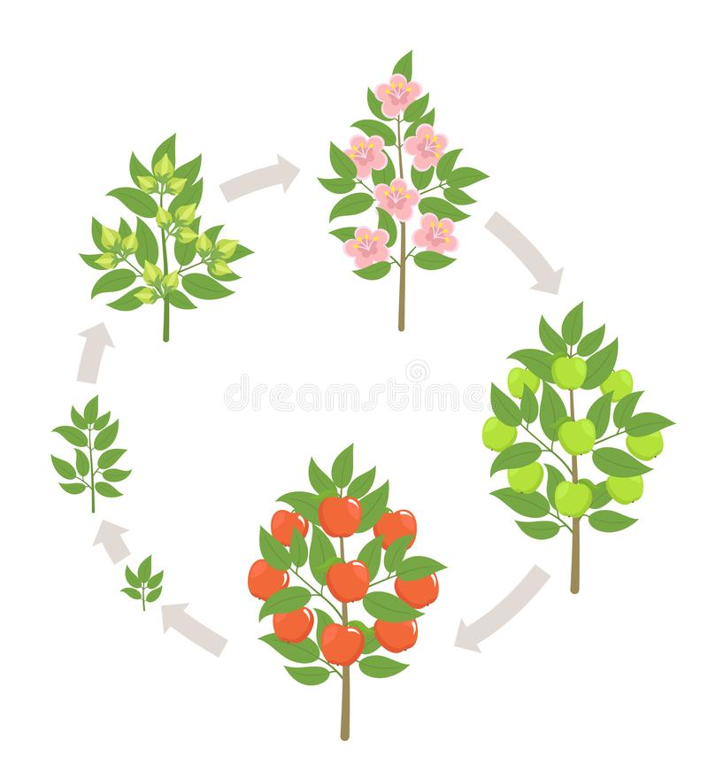 Apple tree growth stages. Vector illustration. Ripening period progression. Fruit tree life cycle animation plant. Apple tree growth stages. Ripening period royalty free illustration