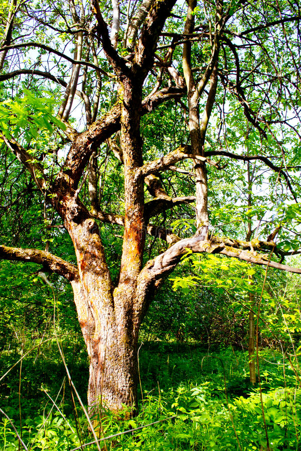 Apple tree i blom royaltyfria bilder