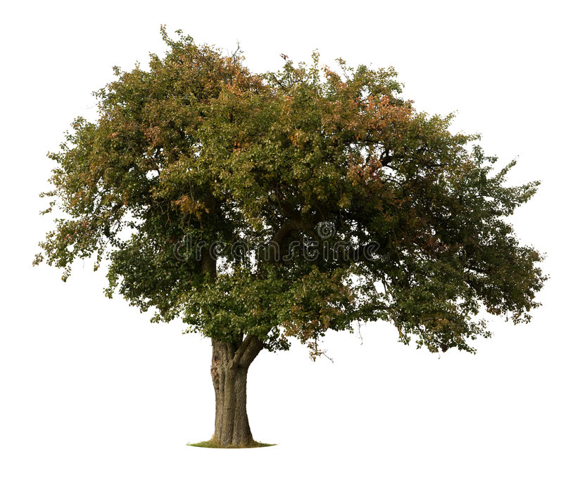 Apple tree isolated on white royalty free stock photography