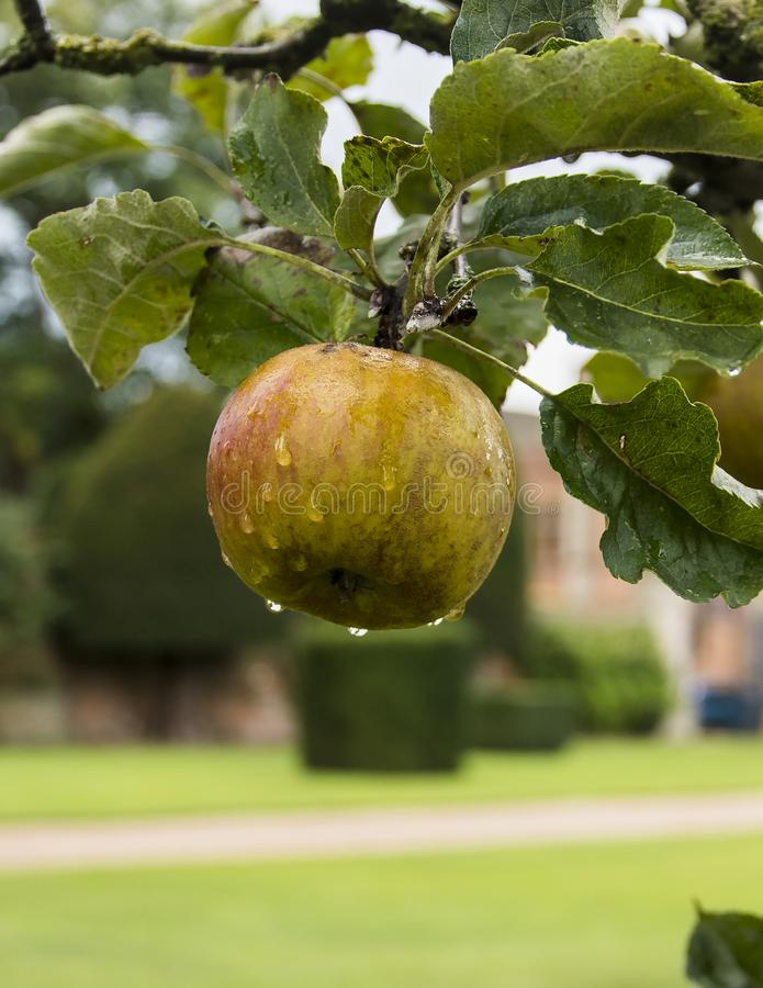 Download Apple on Tree stock photo. Image of juicy, north, shortly - 99582468