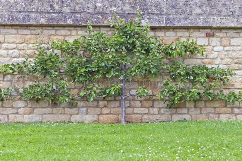 Apple tree on a lime stone wall, Cotswolds garden, UK royalty free stock photography