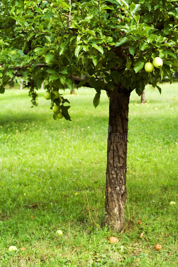Apple tree in orchard stock photo