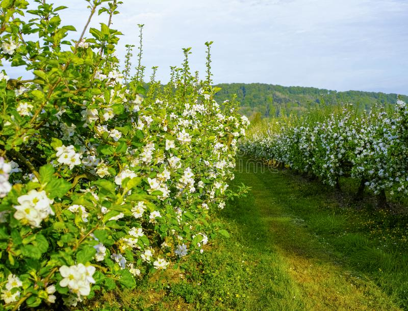 Apple tree orchards in Normandy, spring blossom of apple trees, production of famous cider of Normandy, France stock images