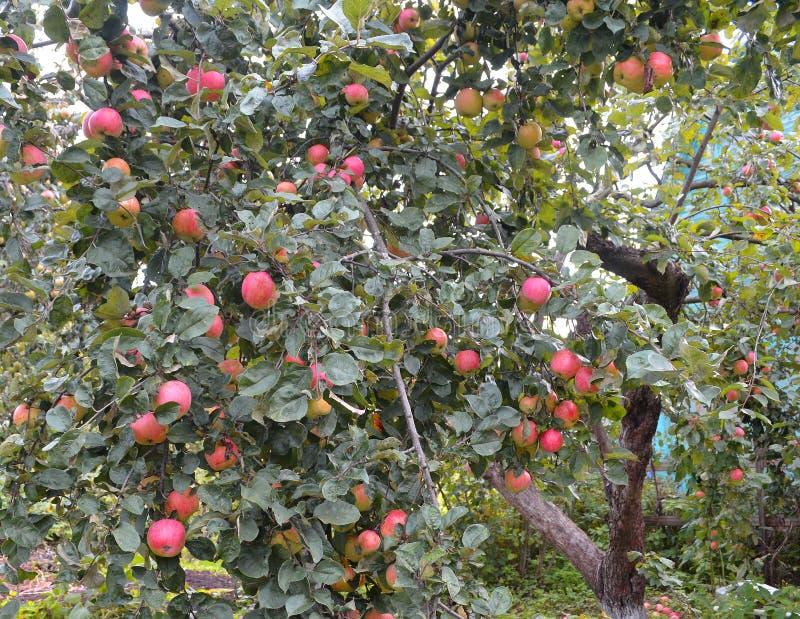 Apple tree in outmn garden stock photo
