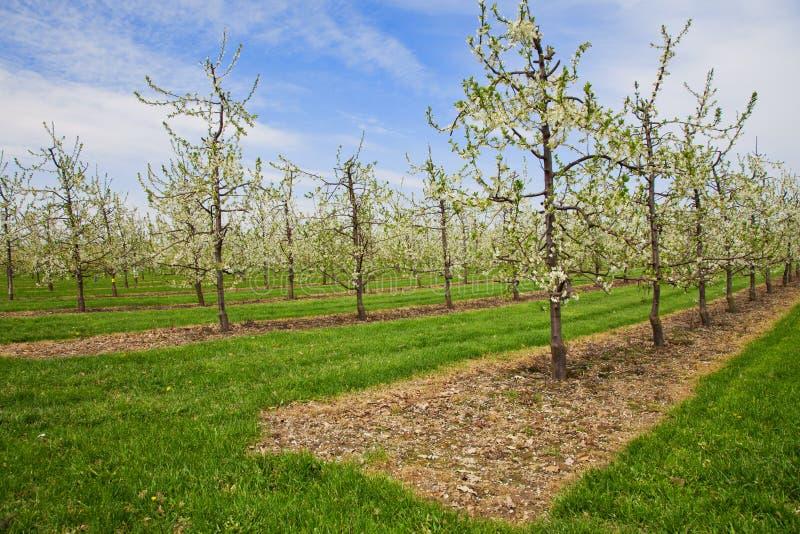 Download Apple tree plantation stock photo. Image of growing, plantation - 25655400