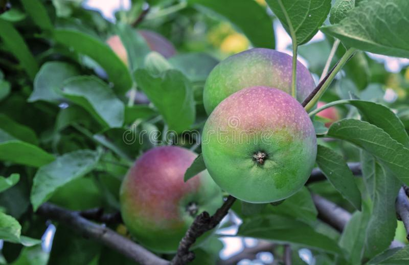 Apple tree with red-green apples on the branches stock images
