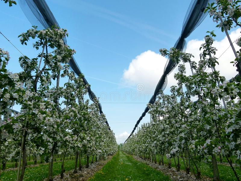 Orchard with countless apple trees in bloom stock image