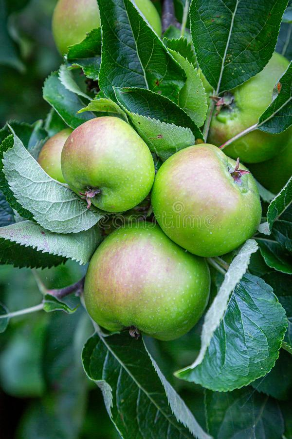 An Apple Tree. Several apples growing on a tree during summer royalty free stock photography