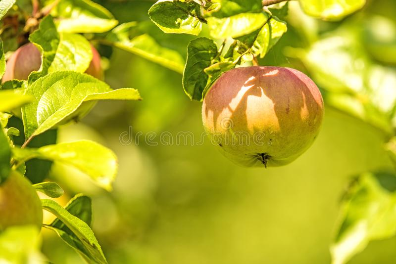 Apple on a tree in summertime royalty free stock photography