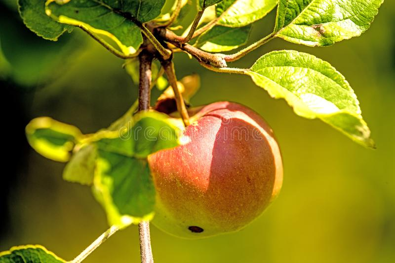 Apple on a tree in summertime royalty free stock photos
