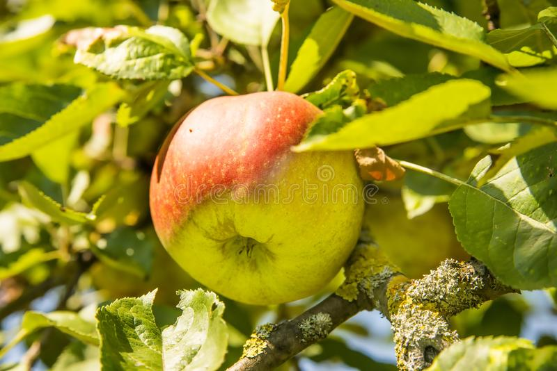 Apple on a tree in summertime stock images