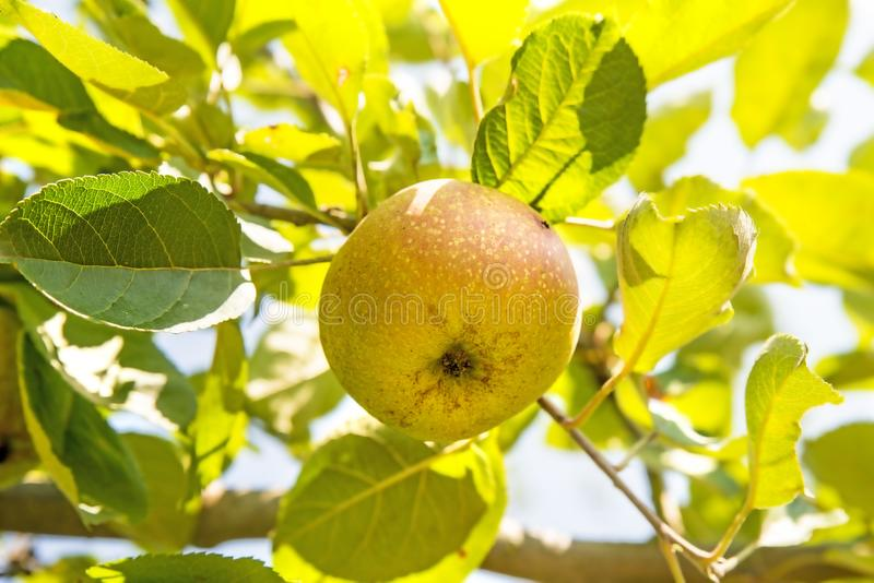 Apple on a tree in summertime royalty free stock image