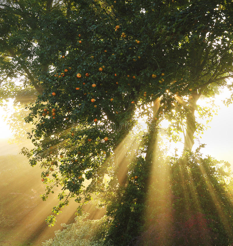 Apple tree sunburst stock photo
