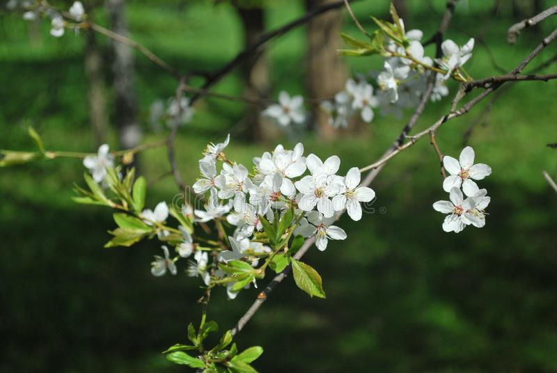 Apple Tree with white blossom in the park.spring time.white flowers on the apple tree stock images