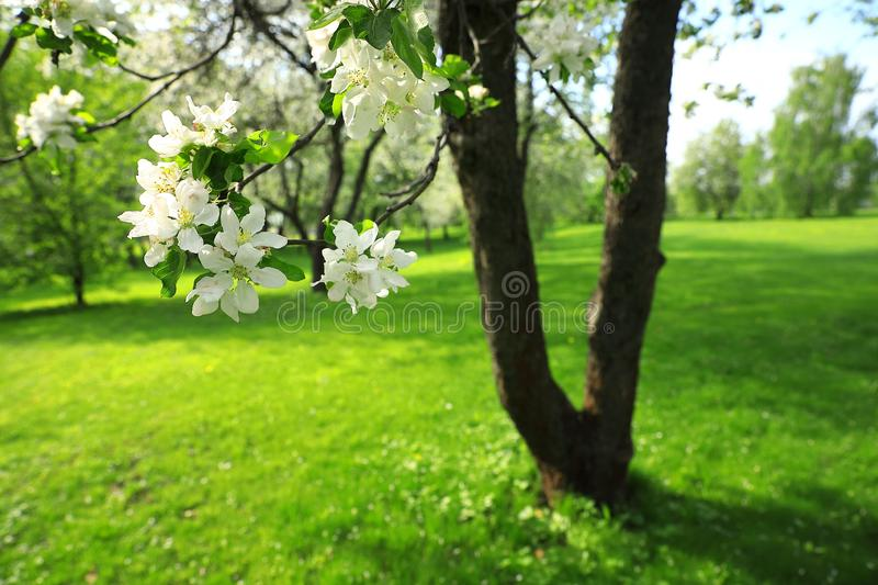An apple tree with white flowers blossoming in a park stock photos