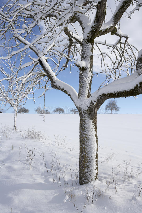 Download Apple Tree In Winter Royalty Free Stock Photography - Image: 16247517