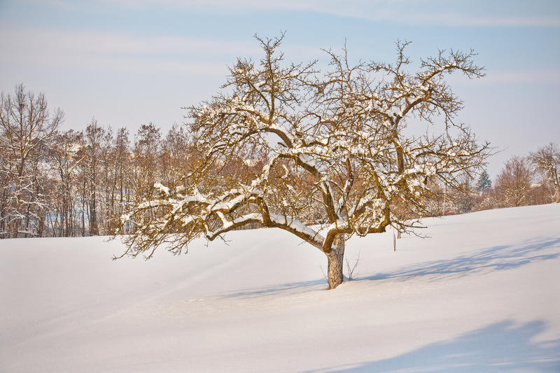 Download Apple Tree In Winter Royalty Free Stock Photography - Image: 23374837