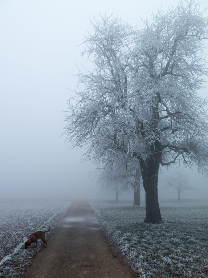 Apple tree in winter fog. stock photo