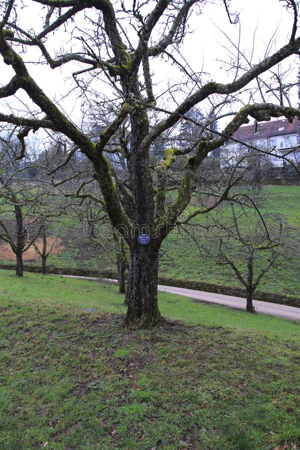 Apple tree, yellow Boskop with nameplate in winter, in the public fruit property Park Baden-Baden stock photography