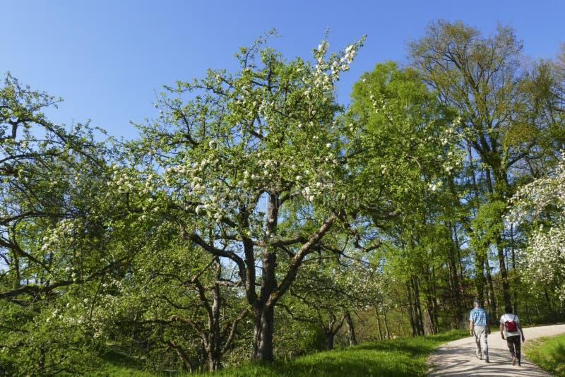 Apple tree, yellow Boskop in the public fruit property Park in Baden-Baden stock image