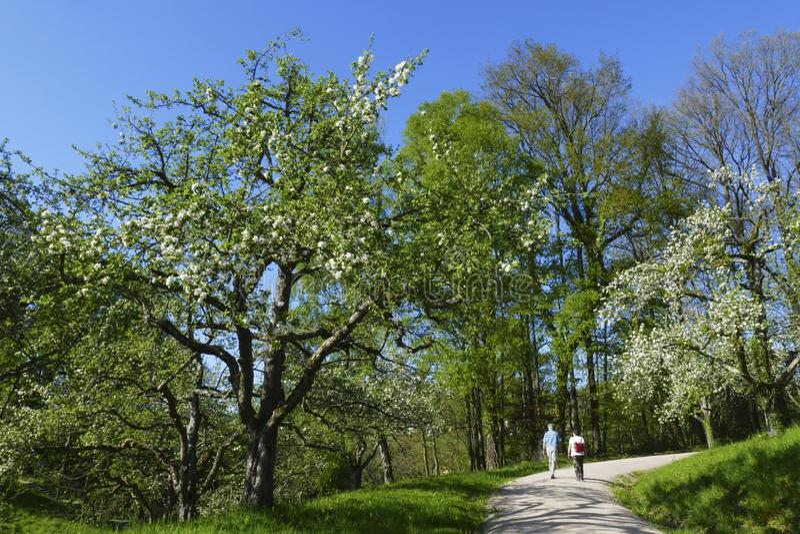 Apple tree, yellow Boskop in the public fruit property Park in Baden-Baden stock photo
