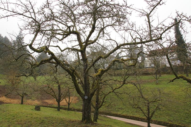 Apple tree, yellow Boskop in winter, in the public fruit property Park Baden-Baden royalty free stock photography