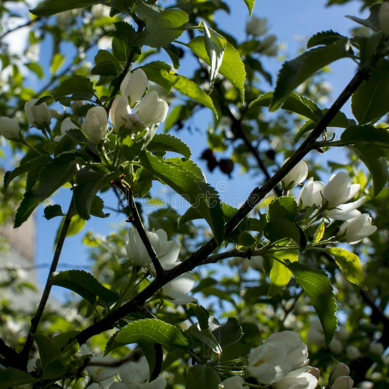 Apple trees flowers. the seed-bearing part of a plant, consisting of reproductive organs that are typically surrounded by a royalty free stock photos