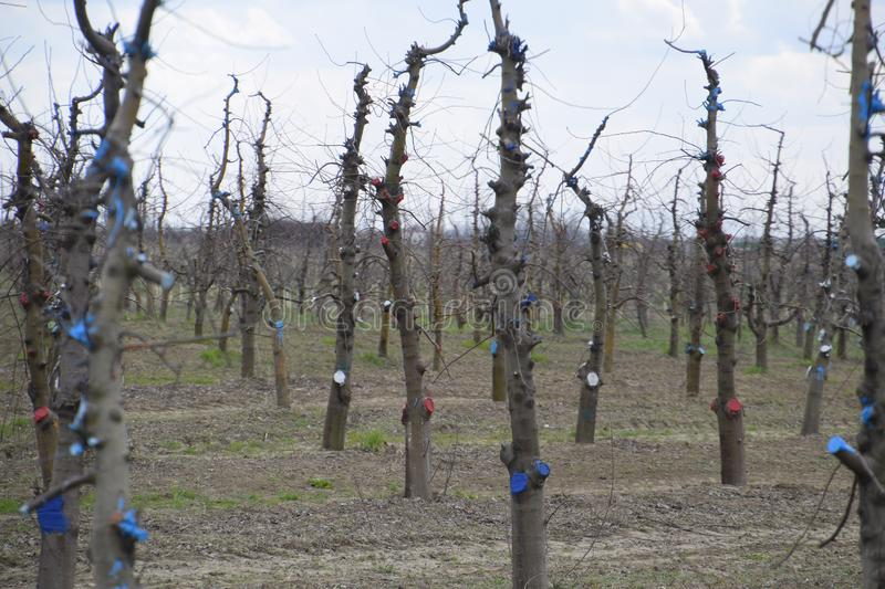 Apple trees in the garden, pruning apple trees. Protecting cut branches with paint coating stock photo