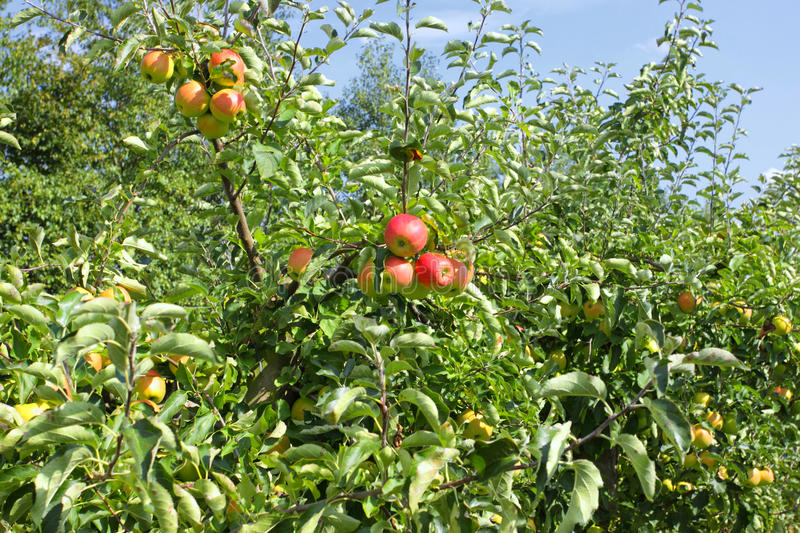 Download Apple Trees Loaded With Apples In An Orchard Stock Photo - Image: 21005694