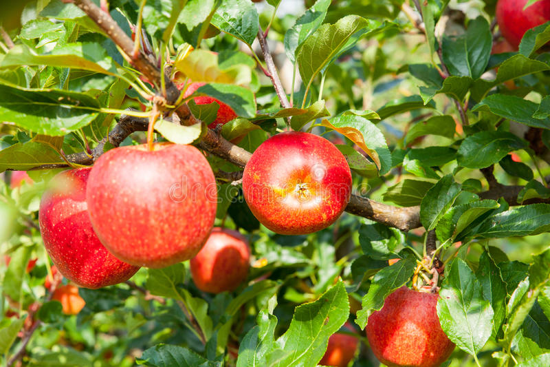 Apple trees royalty free stock photos