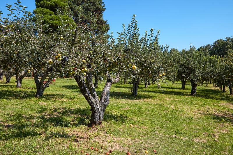 Apple trees orchard in a sunny day, clear blue sky stock photo