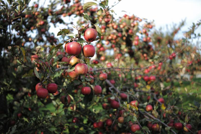 A lot of apple on the trees stock photography
