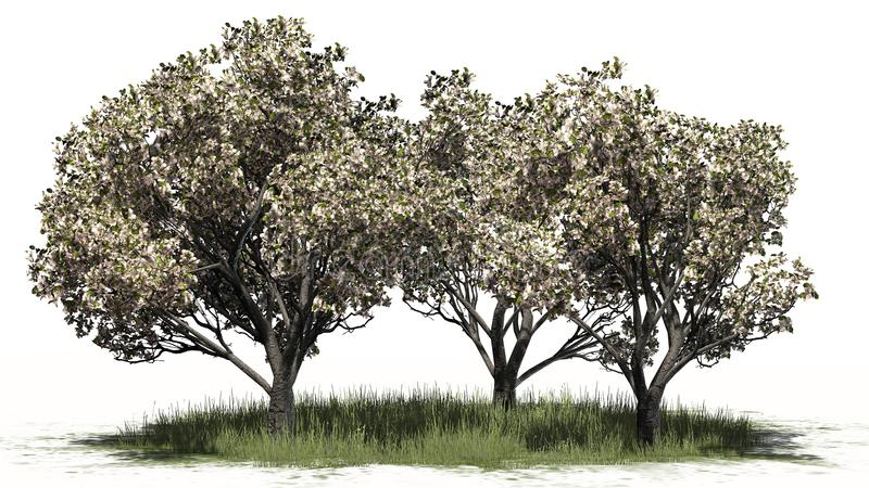 Several apple trees in the spring with blossoms - separated on white background. Apple trees in the spring with blossoms in the grass and shadow education on the stock illustration